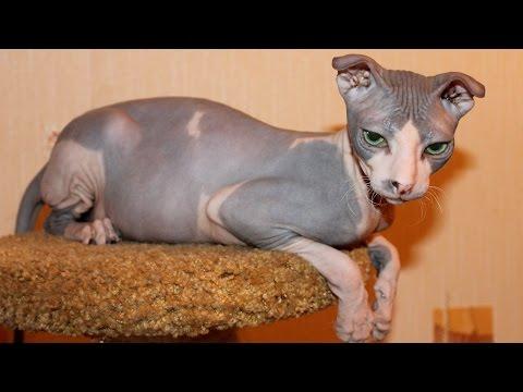 Top 10 Most Bizarre Cat Breeds