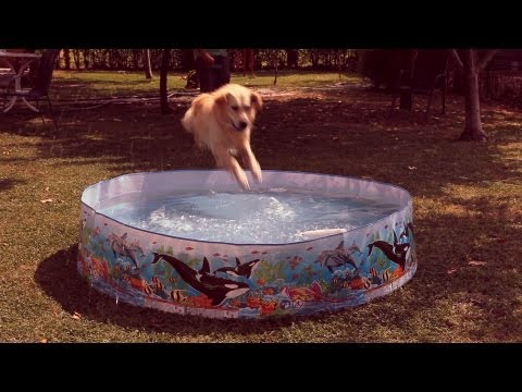 Games and retrieves with young golden retriever in baby swimming pool, dog training
