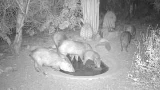 Wildlife at a Sonoran desert water hole