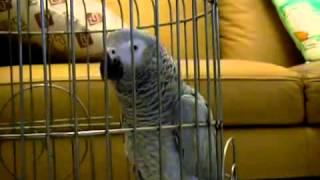 鸚鵡學說話