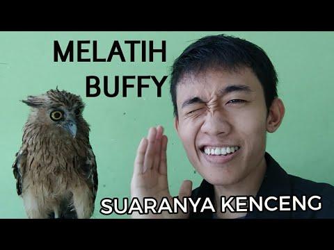 Melatih Burung Hantu (Buffy Fish Owl)