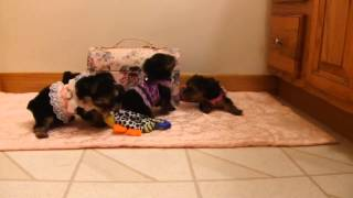 Cute Yorkshire Terrier Puppies Playing In Cute Dresses