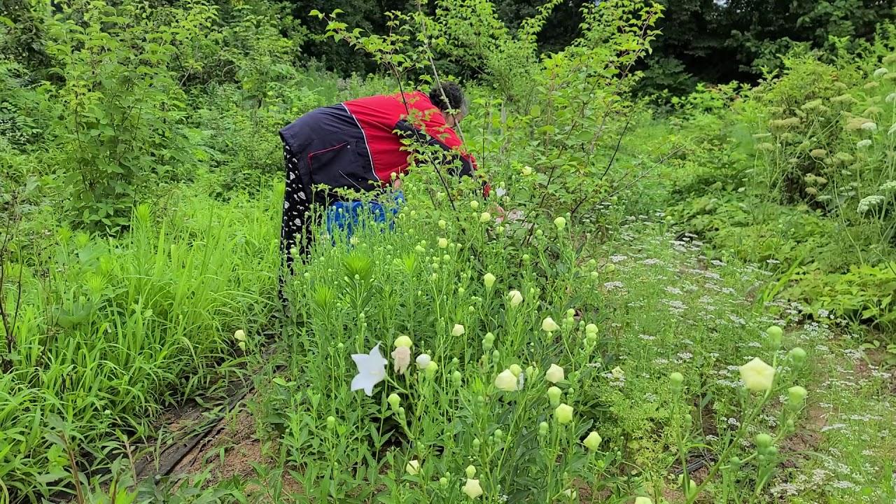 도라지꽃의 효능.3천가지 한약처방전 중에 3백가지 처방에 꼭 들어가는 도라지의효능.진해 거담 홉흡기질환 인후통 숨가쁨