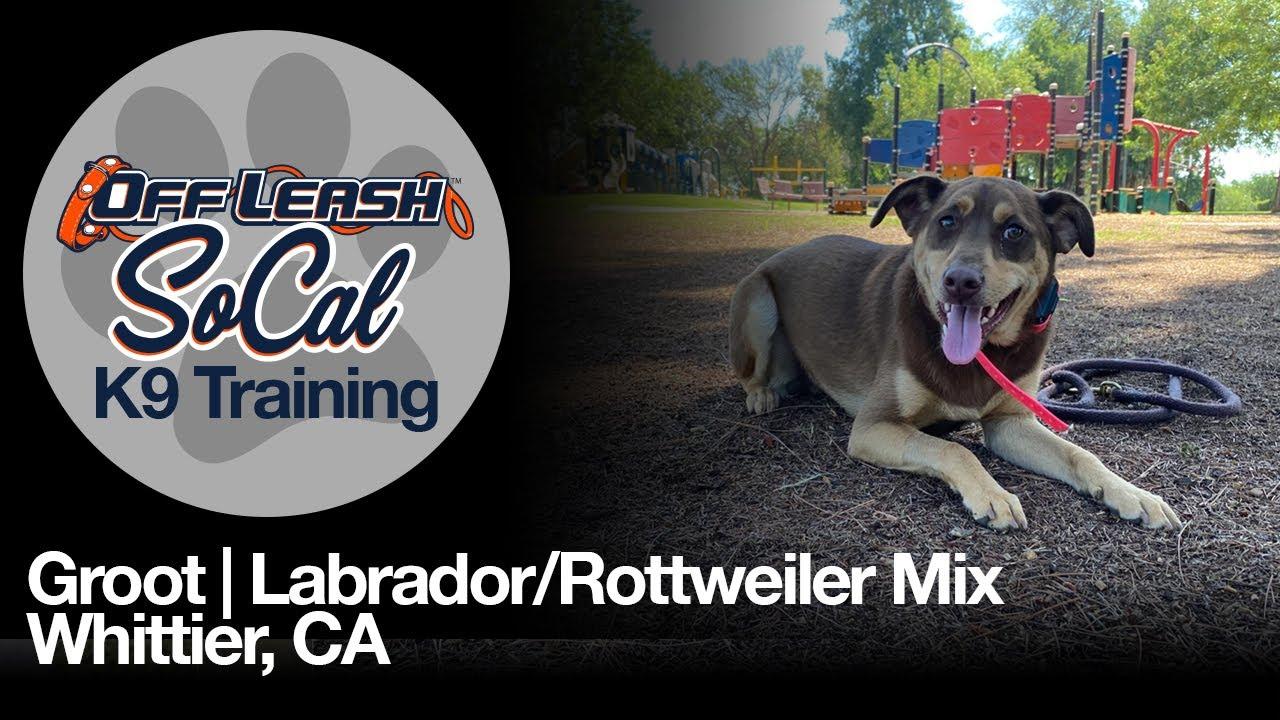 Groot | Labrador/Rottweiler Mix | Whittier, CA