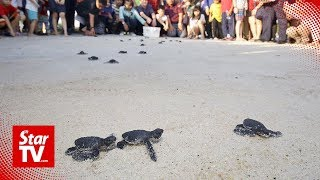 Newly-hatched turtles released into the sea