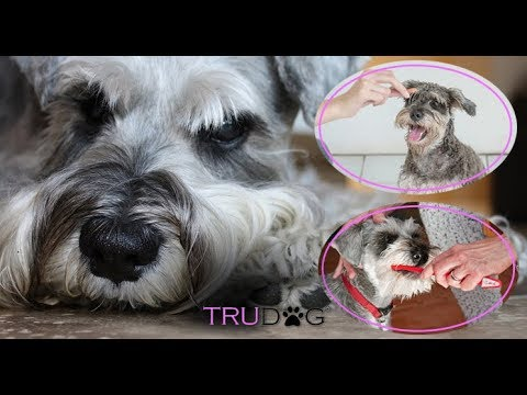 Schnauzer Dog Information and Care