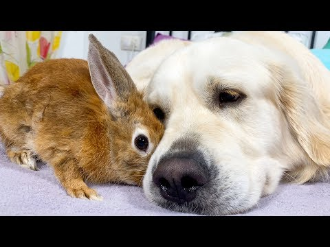 Dog Cuddles with a Cute Rabbit - Lovely Friendship
