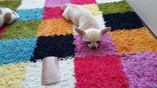 Diy: как сшить две простые игрушки для собаки своими руками//#часть 2))🐶(чит.описание👇)