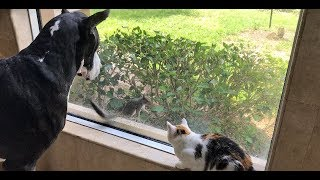 Squirrel Teases Great Dane and Cat ~ Everyone Gets a Surprise