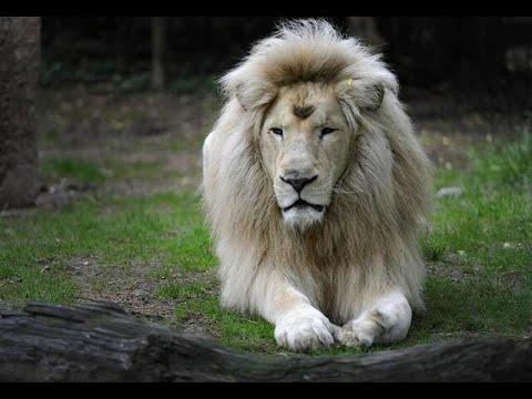 Download Adieu Jabu, le roi lion blanc du zoo..  😢 (S13E18) - Une Saison au Zoo