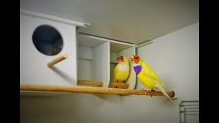 Как строят гнездо амадины гульда