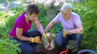 Episode 16 Planting a Bare Root Rose