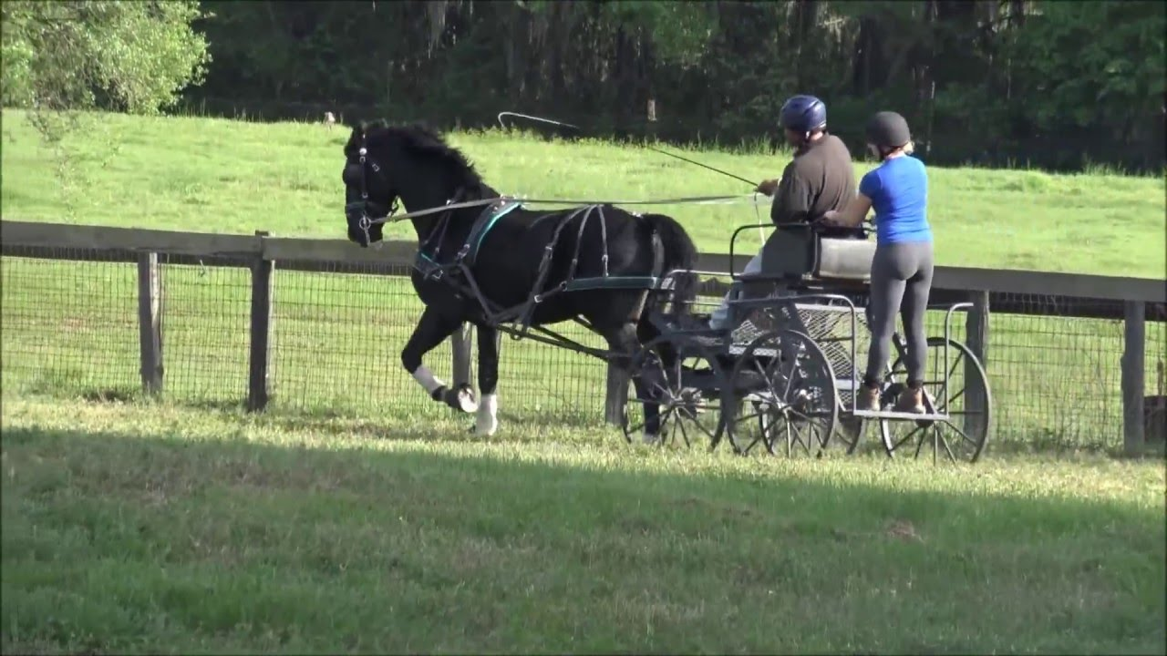 2011 Dutch Harness Horse Cross Driving Horse For Sale - YouTube