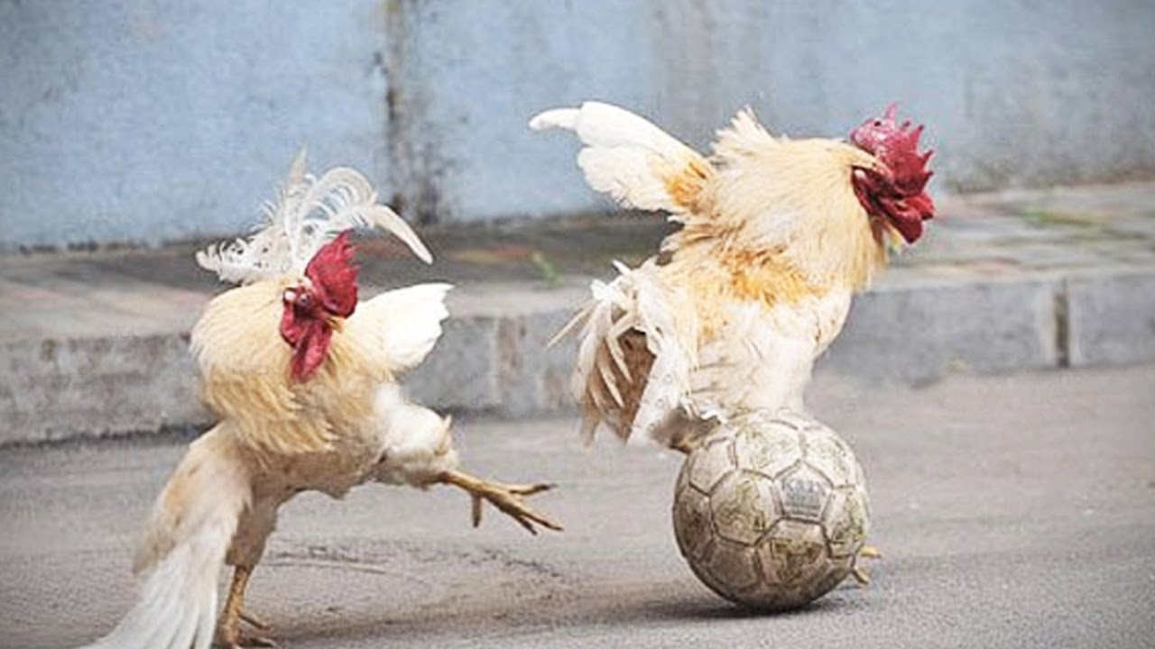 Funny Chickens F F Funny Pets