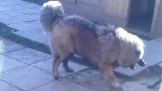 Caucasion Ovcharka Mountain Dog Vs Staffordshire Bull Terrier. Northolt Dogs