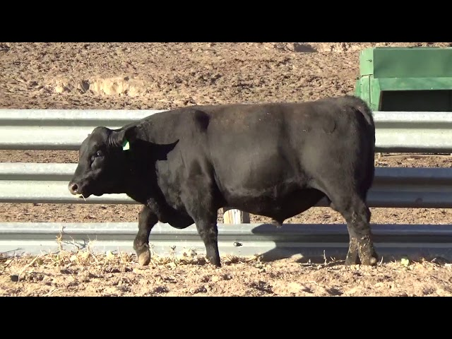 Connealy Angus Lot 214