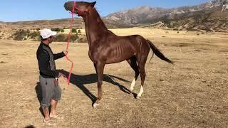 Конь по кличке Mamertin  на продажу. Чистокровный Английский