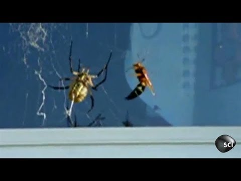 Wasp Vs. Spider | Outrageous Acts of Science