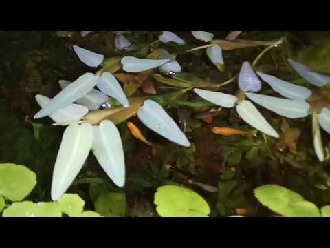 Гигройза / Hygroryza aristata - новое плавающее аквариумное растение