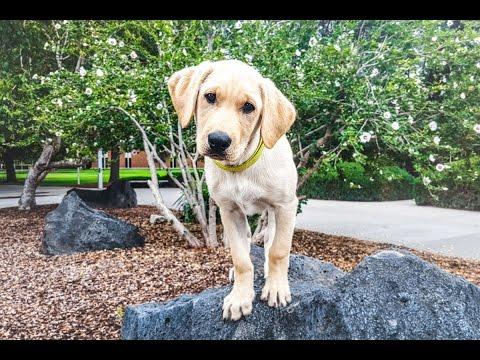 SMARTEST LAB PUPPY - Bentley in Training