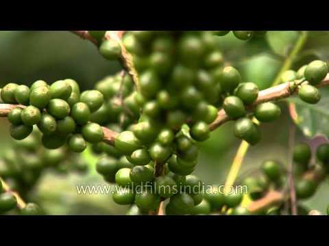 Unripe Coffee Pods in Karnataka