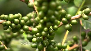 Unripe Coffee Pods in Karnataka