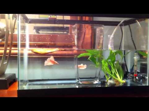 My Betta spawning breeding tank setup