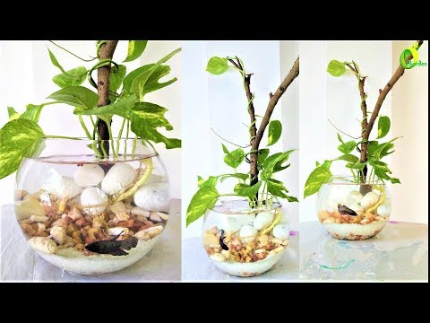Beta Fish Tank Ideas//money Plant Growing In Beta Fish Bowl/money Plant Tree/ORGANIC GARDEN