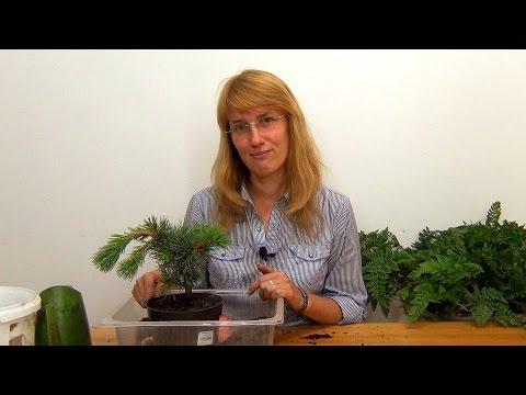 Как вырастить бонсай в домашних условиях из сосны