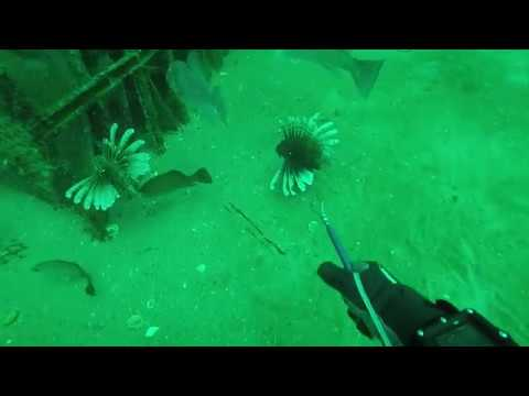 TONS OF PENSACOLA LIONFISH BEING REMOVED BY DIVERS