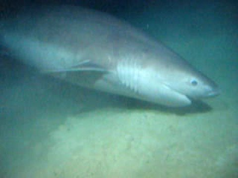 Six Gill Shark Filmed From Deep Submersable