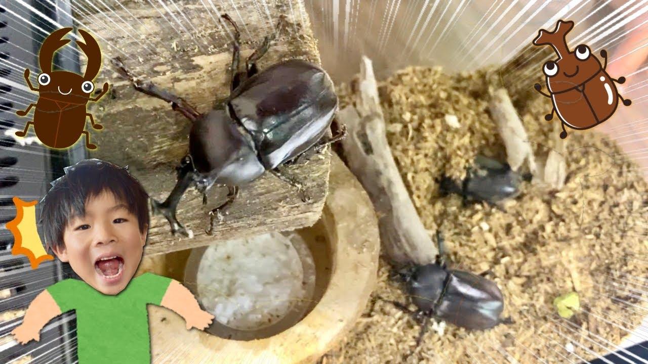 パパが大量のカブトムシとクワガタを捕まえてきた! お家をお引っ越しさせよう! 夏の虫取り 観察 昆虫 飼育