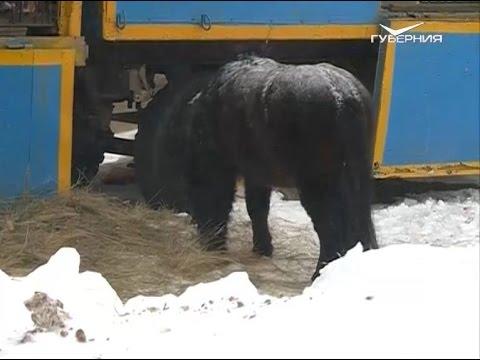 Региональные активисты и жители Нефтегорска борются за судьбу животных в передвижном зоопарке