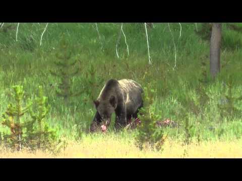 Bear eating elk, Yellowstone