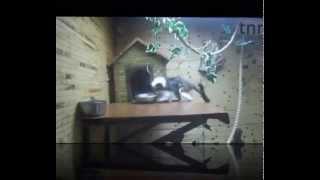 oedipus tamarin - эдиповый тамарин