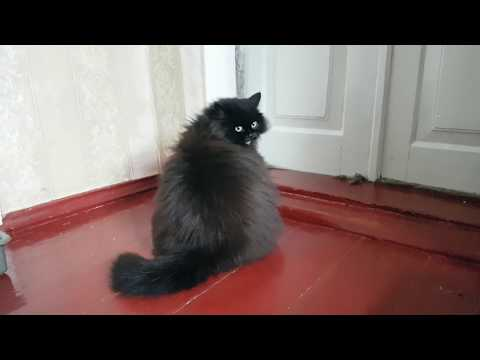 Black fluffy Persian cat is asking to let her outside