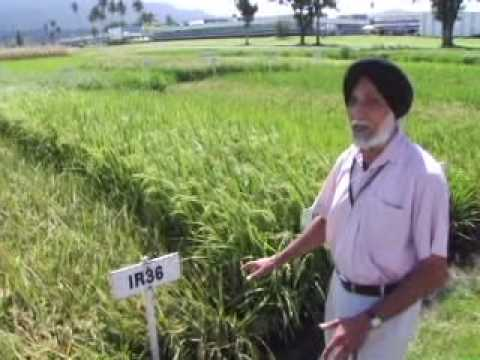 Historical rice varieties of the International Rice Research Institute