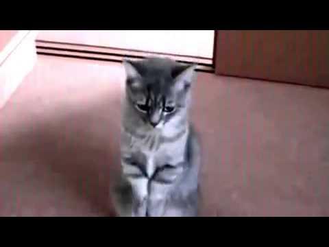 Британская короткошерстная кошка - описание породы, фото