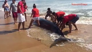 Beached whale in Cherating rescued by members of the public