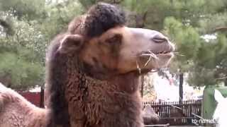 Верблюд (camel)