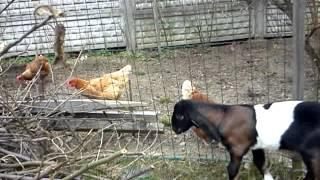 Jan-Serce 2 | www.koziebrody.com.pl | koza anglonubijska
