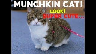 Munchkin Cat Compilation // SUPER CUTE CAT