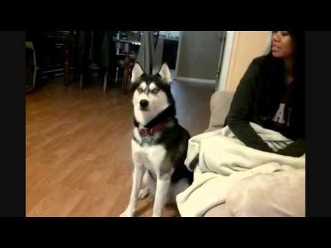 Siberian Husky has an Attitude!