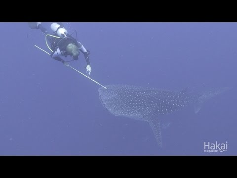Whale Shark Tagging in The Philippines