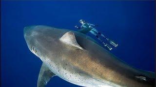 Avistan en Hawái al tiburón blanco más grande conocido. (Deep Blue)