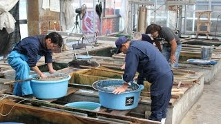 Sakai Fish Farm October 2014 - part 1 - ATB TV Japan tour