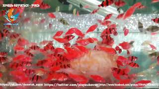 кормление кашей аквариумных рыб, как я кормлю, дешевый корм для рыбок