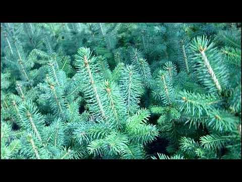 """Выращивание ели голубой 5-ти летка ч 4 (корневая,выкопка) """"Хвойный дворик"""""""