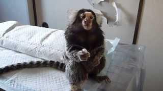 ゆで卵を食べるコジロウ2 コモンマーモセット marmoset
