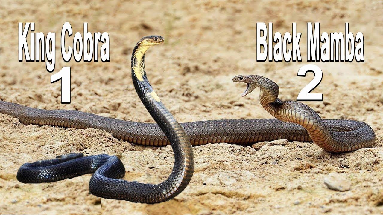King Cobra and Black Mamba